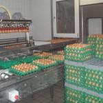 Eier auflegen (1)